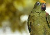 Попугай Юбилей ава